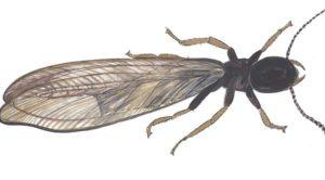 subterranean-termite