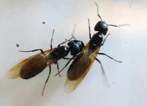 "Ant ""Swarmer"""