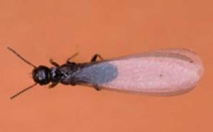 "Subterranean Termite ""Swarmer"""