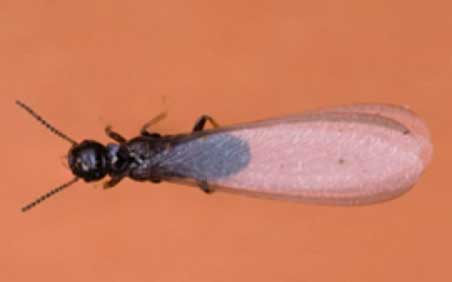 Subterranean Termites Are Swarming Cloud Termite And Pest Control