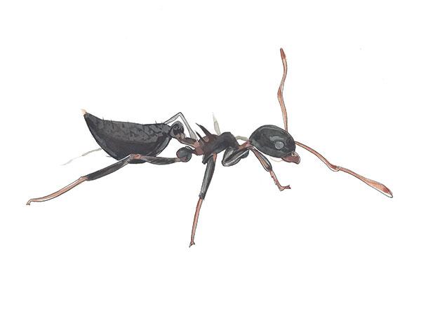 Acrobat Ant - Cloud Pest Control