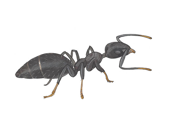 White Footed Ant