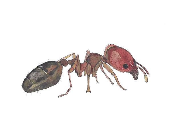 Big Headed Ant - Cloud Pest Control