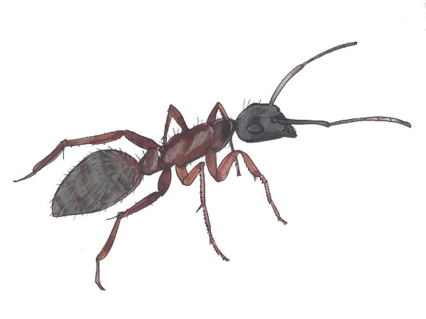 Carpenter Ant - Cloud Pest Control