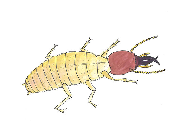 Formosan Termite - Cloud Pest Control