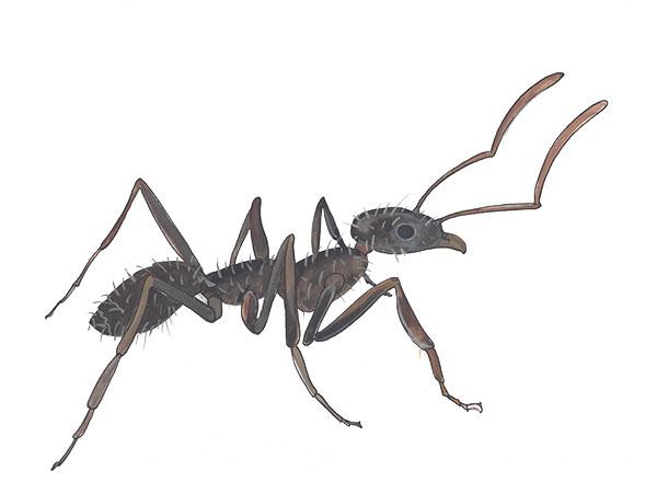Crazy Ant - Cloud Pest Control