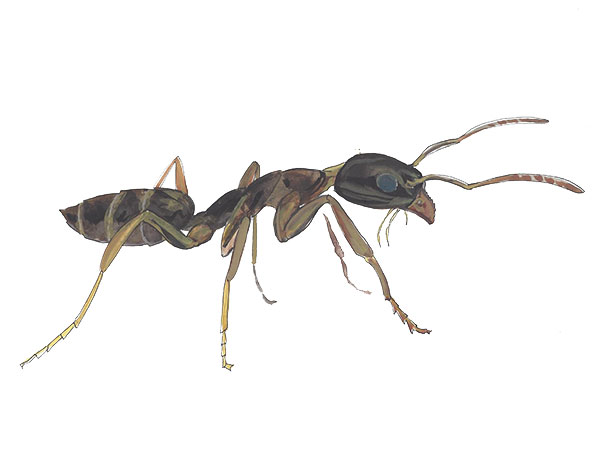 Odorous House Ant - Cloud Pest Control