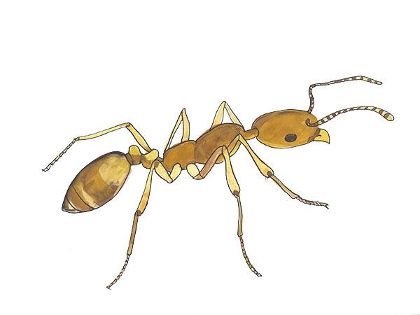 Pharaoh Ant - Cloud Pest Control