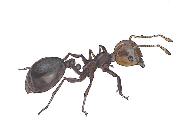 Fire Ant - Cloud Pest Control
