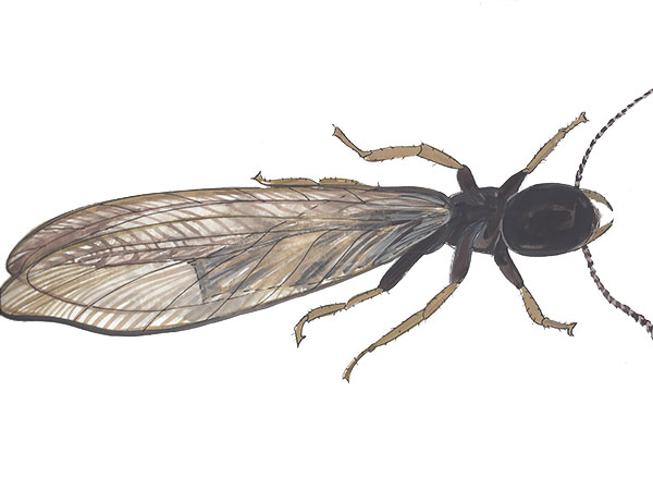 Subterranean Termite - Cloud Pest Control