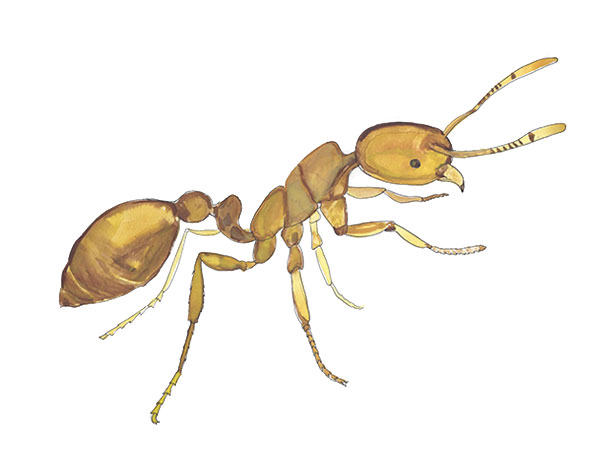 Thief Ant - Cloud Pest Control