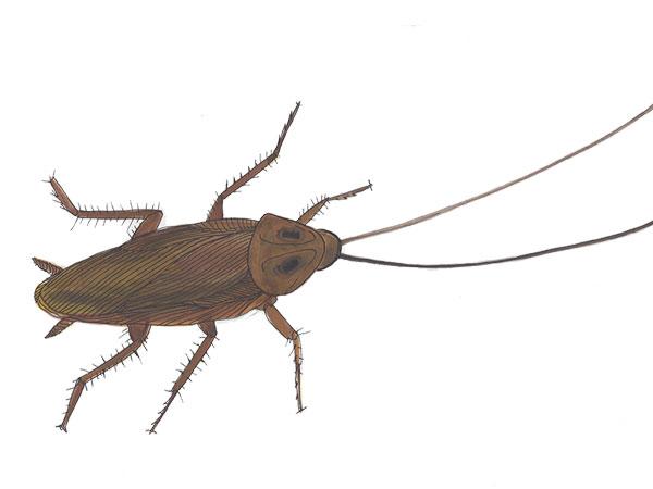 American Cockroach - Cloud Pest Control