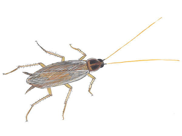 Brown Banded Cockroach - Cloud Pest Control