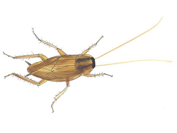 German Cockroach - Cloud Pest Control