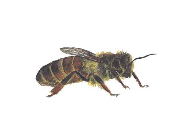 Bee - Cloud Pest Control