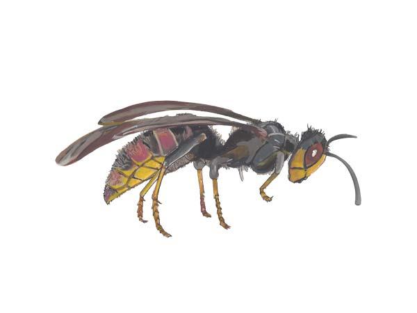 Hornet - Cloud Pest Control