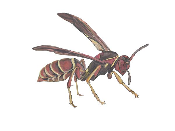 Red Paper Wasp - Cloud Pest Control