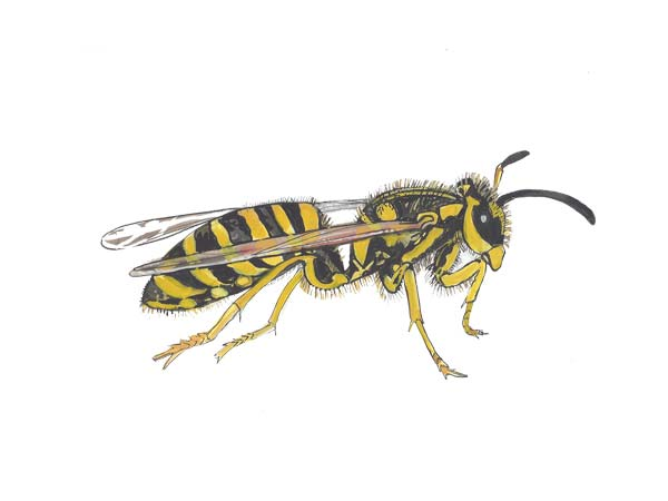 Yellow Jacket - Cloud Pest Control