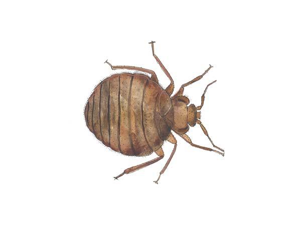 Bed Bug - Cloud Pest Control