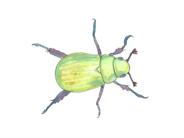 Beetle - Cloud Pest Control