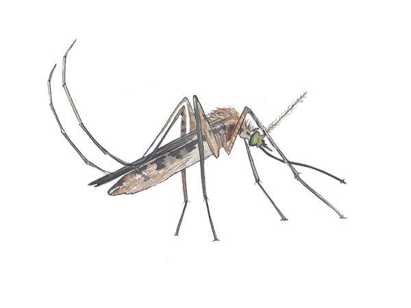 Mosquito - Cloud Pest Control