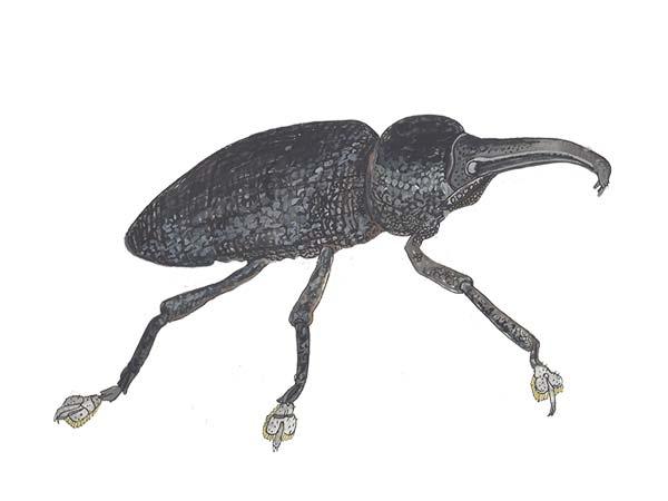 Weevil - Cloud Pest Control