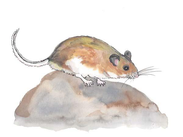 Deer Mouse Extermination - Cloud Pest Control