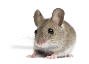 Rodents - Wildlife Control - Cloud Pest Control